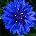 Народни поверия: Цветята говорят много