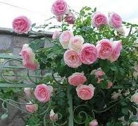 В цветната градина: Есенно-зимни грижи за розите