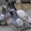 Гълъбите на бай Никифор летят от Турция до вкъщи