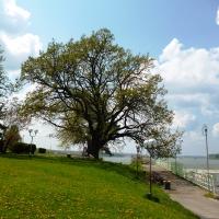 """Дъбът от Дунавския парк в Силистра е """"Дърво с корен 2015"""""""