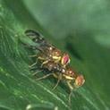 Растителна защита: Чесновата муха първа прави пакости в градината