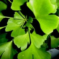 Гинко Билоба – подобрява кондицията и защитава нервите