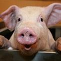 Мишена: Европа първо да се погрижи за пенсионерите ни, а после за свинете
