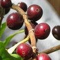 1001 съвети: Как да отгледаме кафеен храст у дома