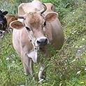 Ретро: Политбюро търсило бик за родопските крави