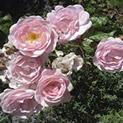 От природата: Роза и градински чай за мазна кожа