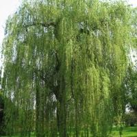 Народни поверия: Върбата дава енергия, липата събира рода