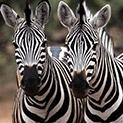Знаете ли, че: Няма две зебри с еднакви шарки