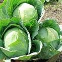 В зеленчуковата градина: Маната – враг № 1 на зелето