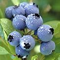 Здраве от природата: Черната боровинка има противовъзпалително действие