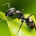 Малко акъл, но навреме: Как да изгоним мравките?