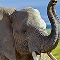 """Учените доказаха: Слоновете наистина имат """"слонска"""" памет"""