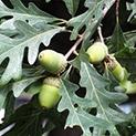 Дъбът – свещеното дърво на българите