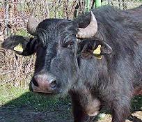 Биволът вече е на изчезване от българското животновъдство