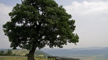 Вековен дъб от Врачанско