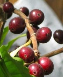 Отглеждането на кафе у дома датира едва от 100 години