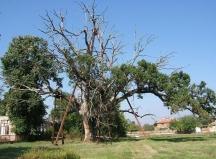 Най-старото дъбово дърво у нас може да види в с.Гранит, Старозагорско