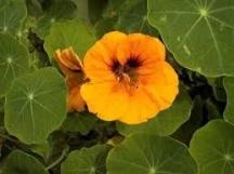 Латинките прогонват белокрилките от оранжерията