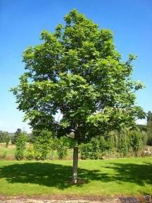 Ясеново дърво
